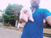 &&&  @@@@ Charming Pomeranian up to date on shots. 07031964582