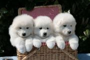 PRECIOUS AND WELL TRAINED SAMOYED PUPPIES