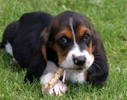 Top Quality  Outstanding Basset Hunt Puppies