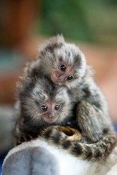 gfjk marmoset apuchin monkeys for sale