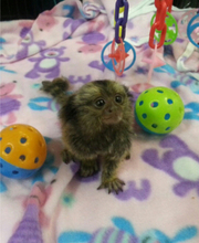 TSTT  pygmy marmoset Capuchin monkeys for sale
