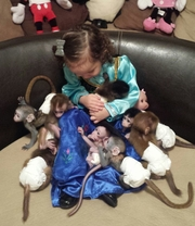 DFDH pygmy marmoset Capuchin Contact CALL 07031957695