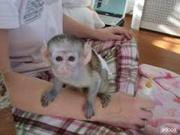 HXFG  Adorable Twin Pygmy Marmoset and Capuchin  07031957695