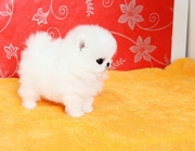 ,   friendly,  and sociable Pomeranian For Sale 07031957695
