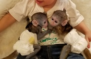 HDRE Pairs Capuchin pygmy marmoset available 07031956739