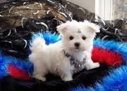 Two beautiful Maltese puppies ready for adoption