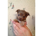 Purebred Chihuahua Puppies for sale