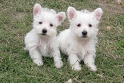 Health certificate,  Health guarantee West Highland White Terrier puppi